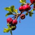 appeltjes en uitlopend-blad